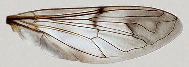 60.131 Syrittosyrphus opacea Hull - male.jpg