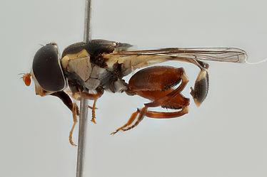 Syritta stigmatica-female-717F05-lateral