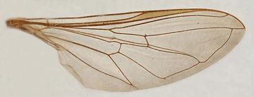 60.134 Xanthandrus congensis Curran - female.jpg