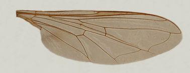 60.122 Pseudodoros nigricollis Becker - male.jpg