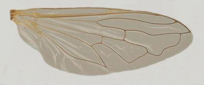 60.130 Syritta flaviventris Macquart - male.jpg