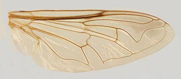 60.126 Simoides sp. - female.jpg