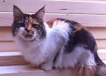 The Haecoon Maine Coon cats and kittens