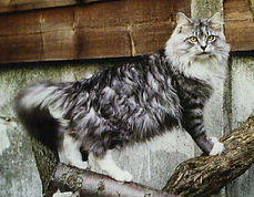 The Dorsai Maine Coon