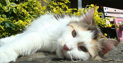 The Haecoon Maine Coons, gorgeous cats & kittens kittens