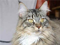 The Haecoon Maine Coon cats & kittens