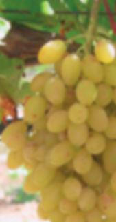 vitis_centennial_seedless_-_raisin_blanc