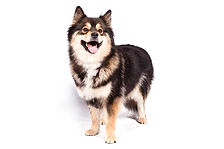 Finnish-Lapphund-On-White-01.jpg