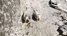 Dead Fish piney point.PNG