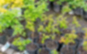 A variety of berry and grape plants at Four Seasons Nursery.