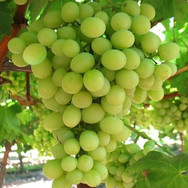 Remaily Grapes