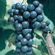 Glenora Grapes
