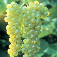 Lakemont Grapes
