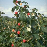 Heritage Raspberries