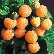 Fall Gold Raspberries