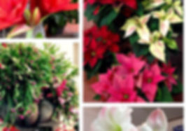 Live Christmas trees, Christmas cactus plants and poinsettias