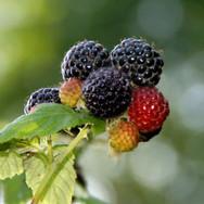 Munger Black Raspberries