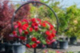 Beautiful petunia hanging basket at Four Seasons Nursery.