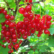 Cherry Red Currant