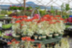 A wide selection of annuals and perennials at Four Seasons Nursery