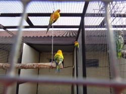 Желтые папугаи 1