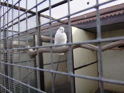 белый папугай