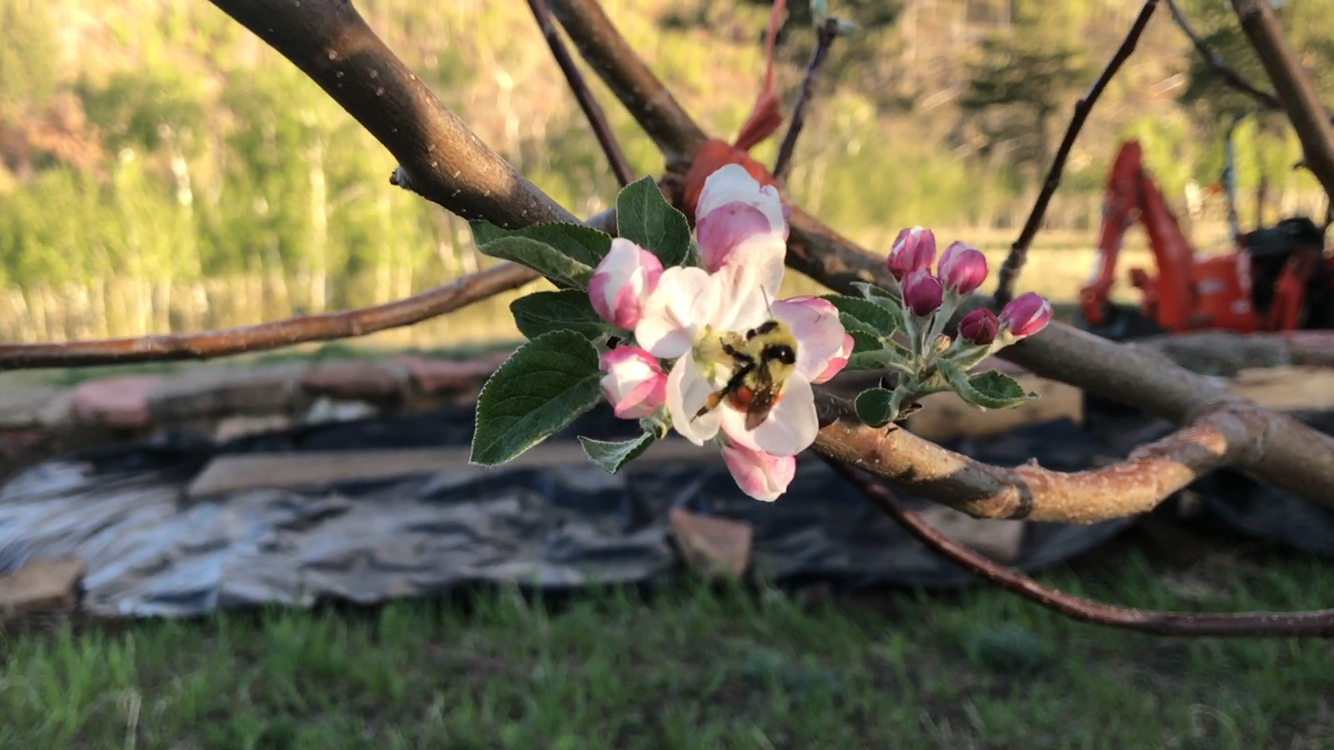 Our Bee's on Our Apple Tree