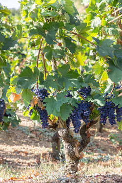 photographe-vigne-vin-rhone-MD-4