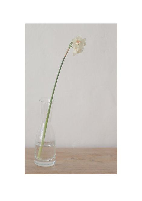 Narcissus (1)