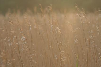 Grasses (II)