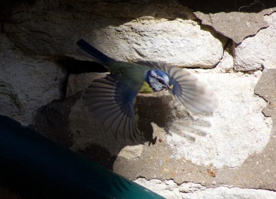 Blue tit flying