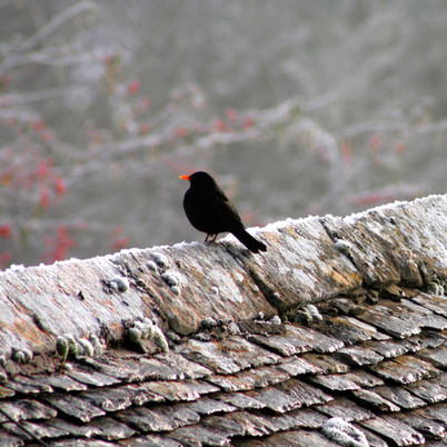 Blackbird and frost