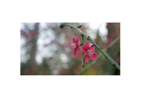 Pink Blossom, Westonbirt Arboretum