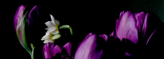 Tulips & Narcissi