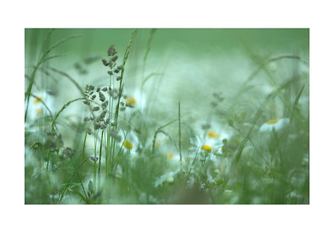 Daisies and grasses