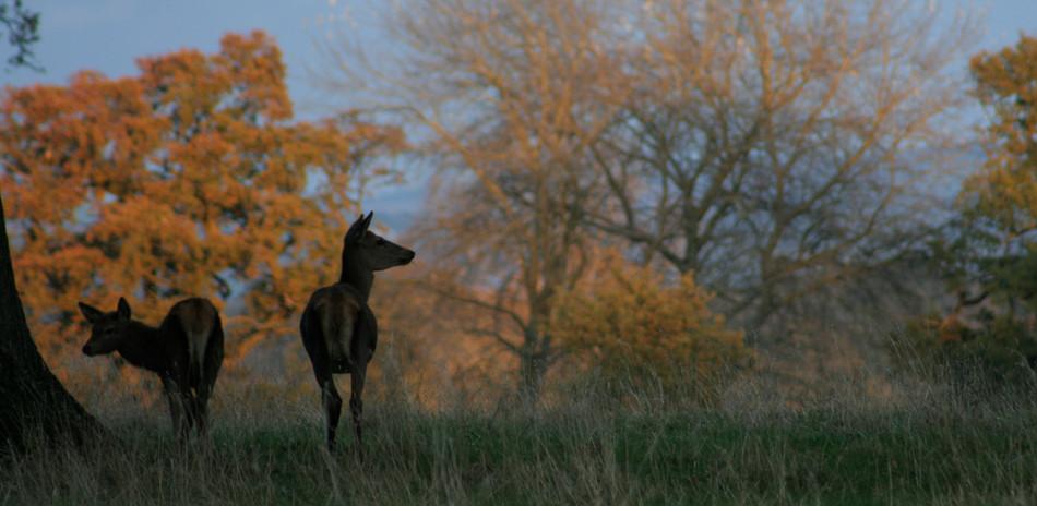 Deer, Gloucestershire