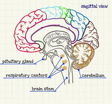 brein, dwarsdoorsnede.jpg