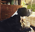 Senior Great Dane dog getting acupuncture for mobility problems.