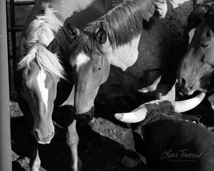 Horses & Bull