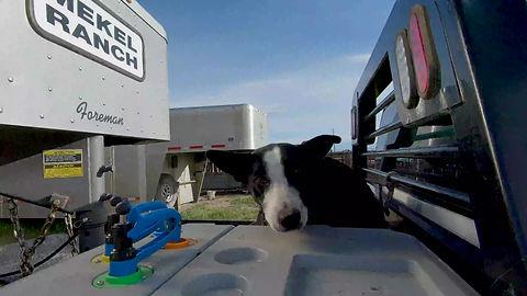 Ike the Cow Dog