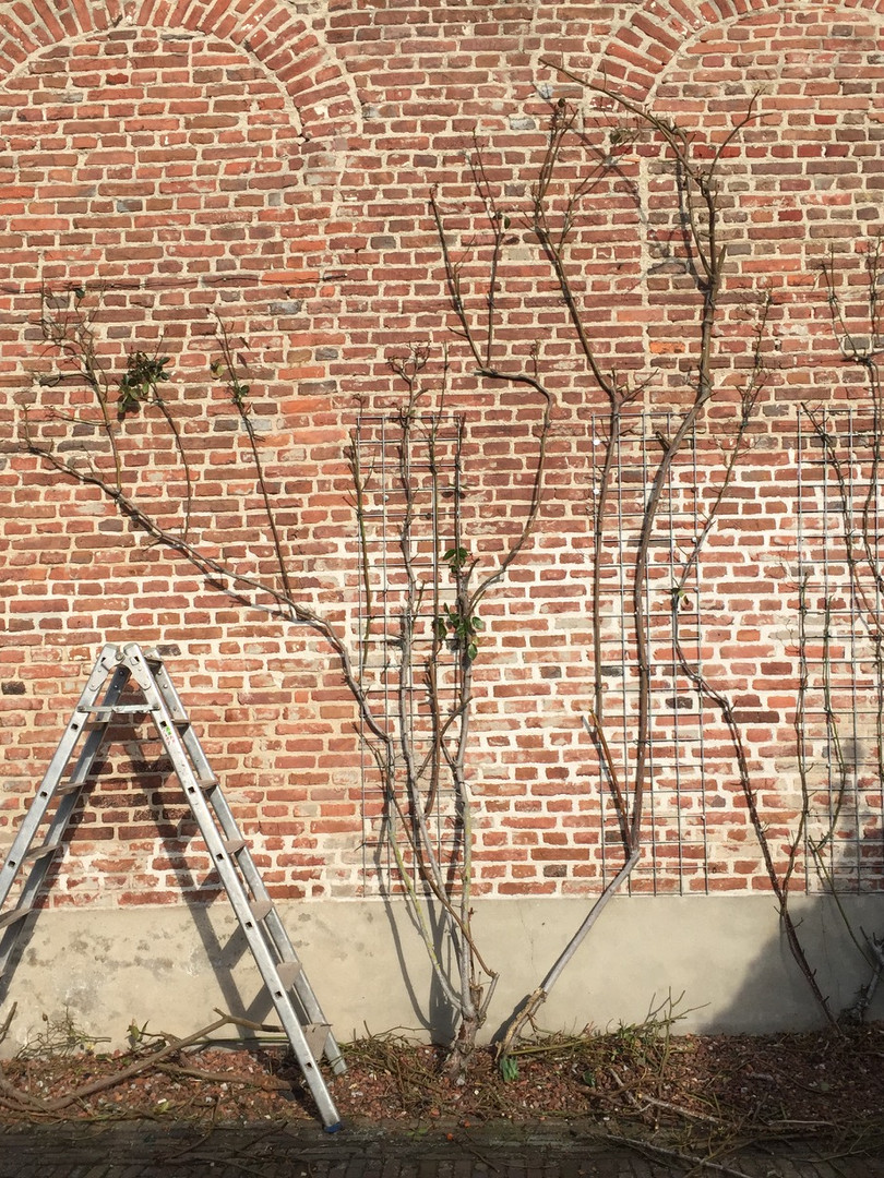 pruning vines, roses, tying and training