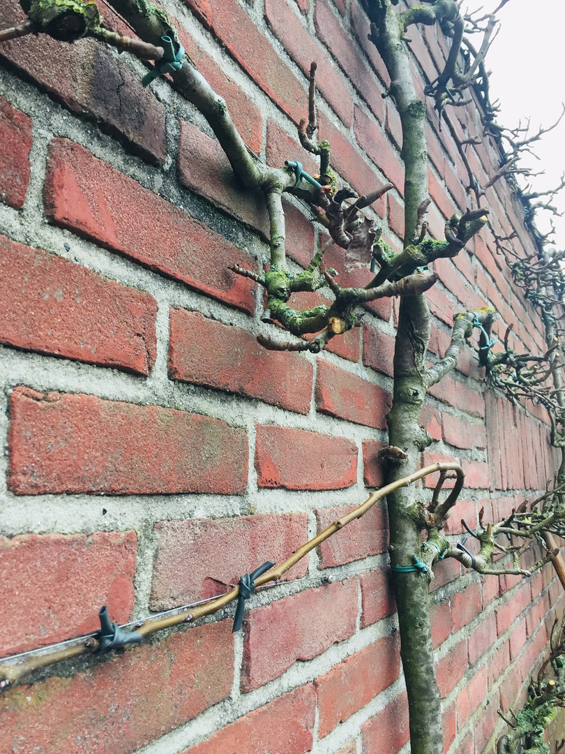pruning vines, trees training and tying