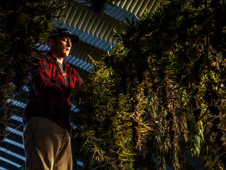 What States Grow The Best Cannabis