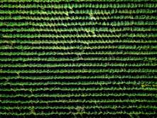 Aerial Photo Cannabis Farm
