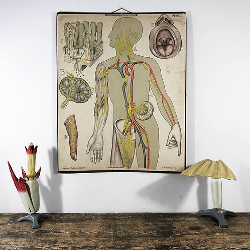 Antique anatomical wall chart of human body