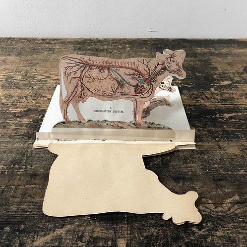 A fantastic antique pop up anatomical diagram of a cow