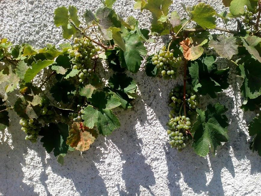 Grapes at Villa marella.