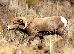 Big Horn Ram, Eastern Or