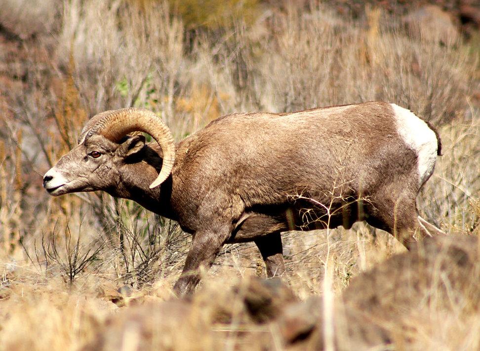 Big Horn Ram, Eastern Or