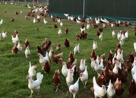 Why You Should Never Buy Free Range Eggs?